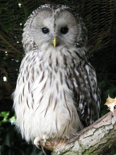 Adopt a large owl from the World Owl Trust