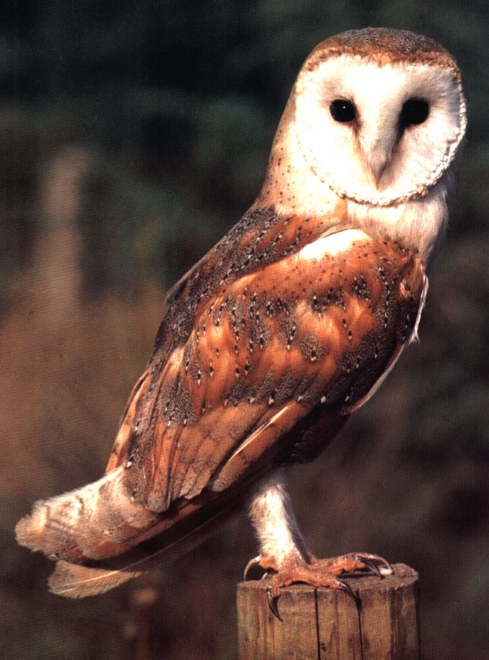 How to attract barn owls