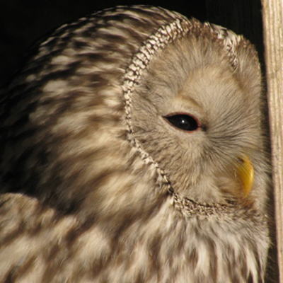 Adopt Ivan the Ural Owl
