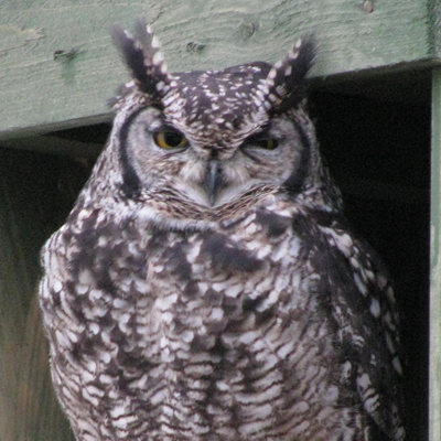 Adopt An African Spotted Eagle Owl