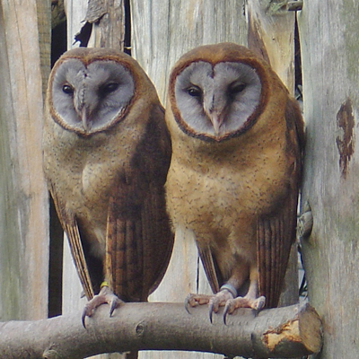 Ashy Faced Owls
