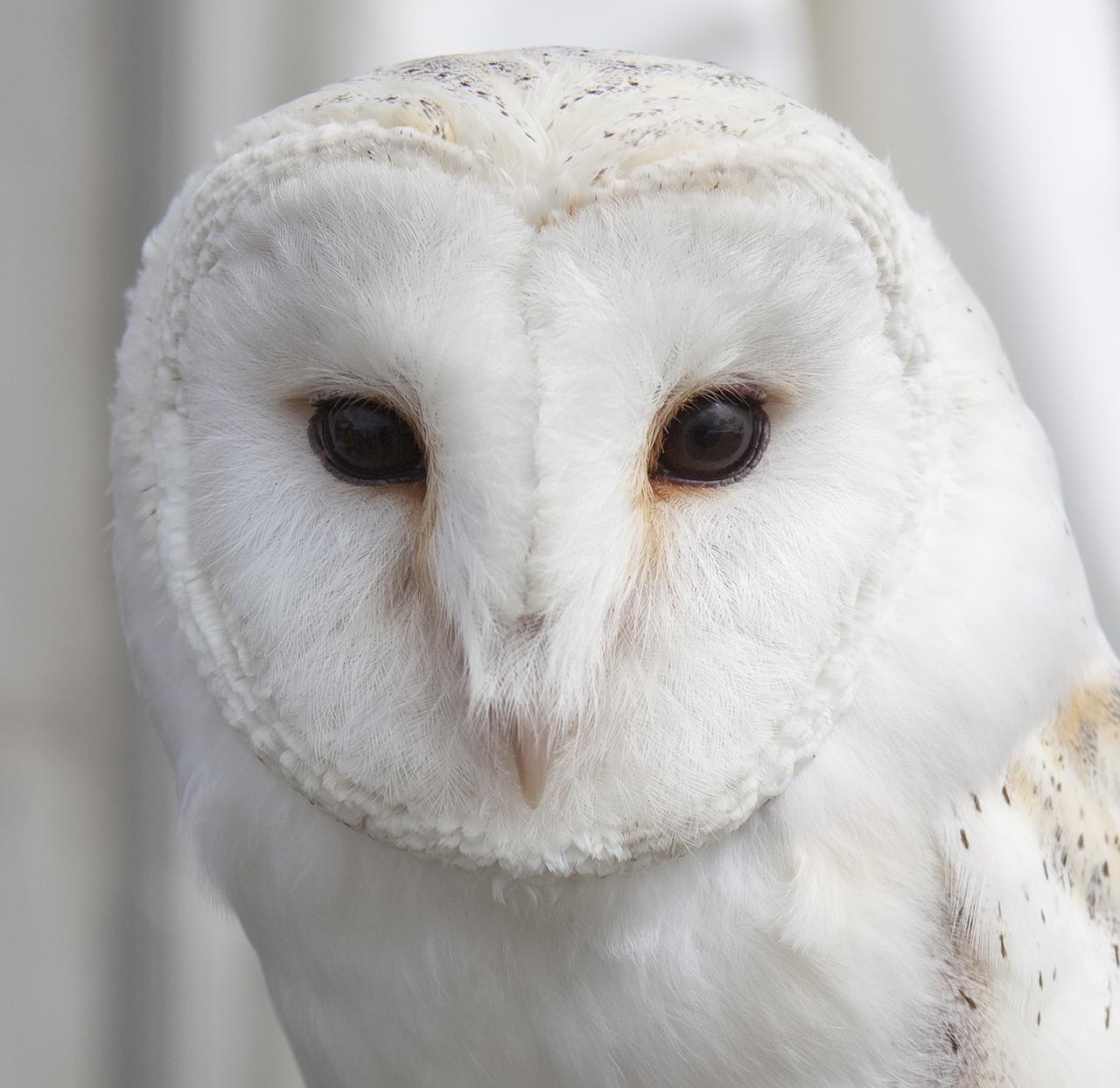 Fidget, Barn Owl