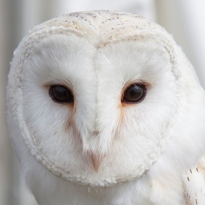 Adopt Fidget The Barn Owl