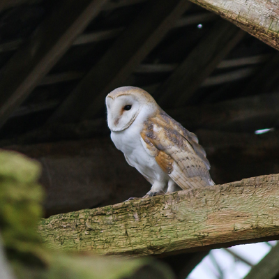 Adopt A British Barn Owl