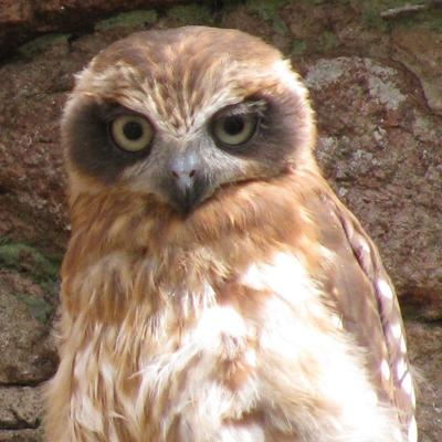 Adopt A Boobook Owl