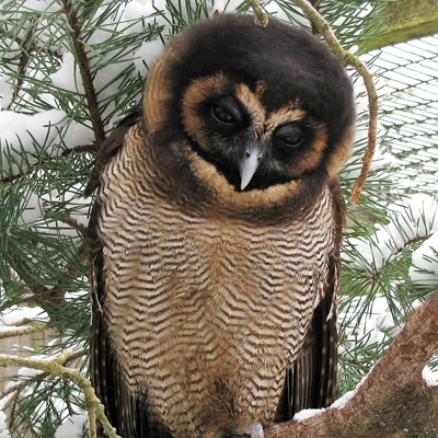 Adopt A Brown Wood Owl