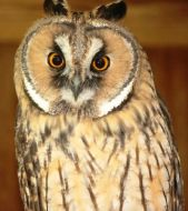 Indie, Long-eared Owl