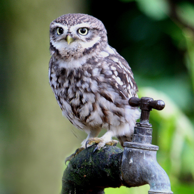 Adopt A Little Owl