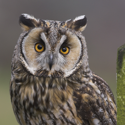 Adopt Indie The Long-eared Owl