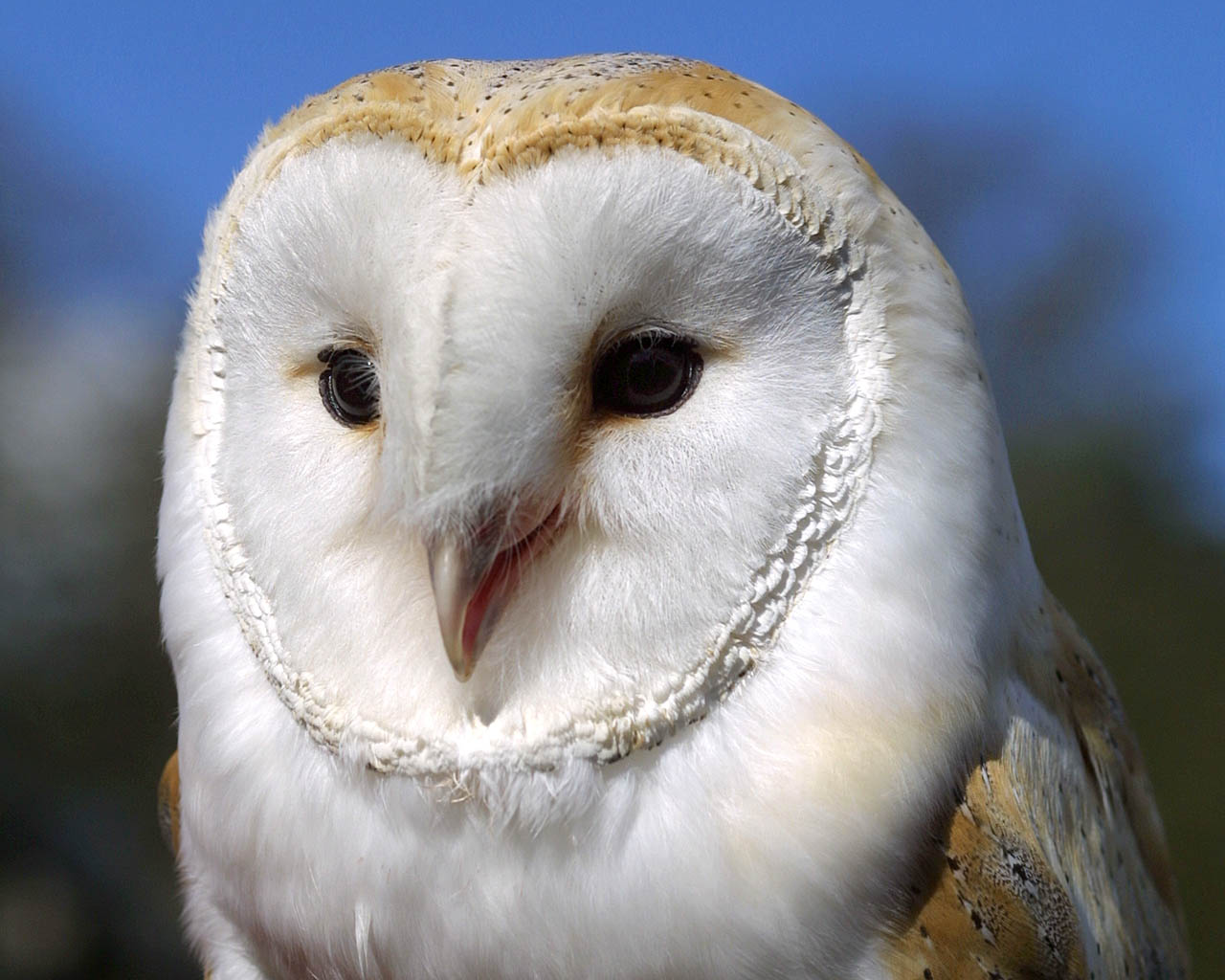 Tythe the Barn Owl
