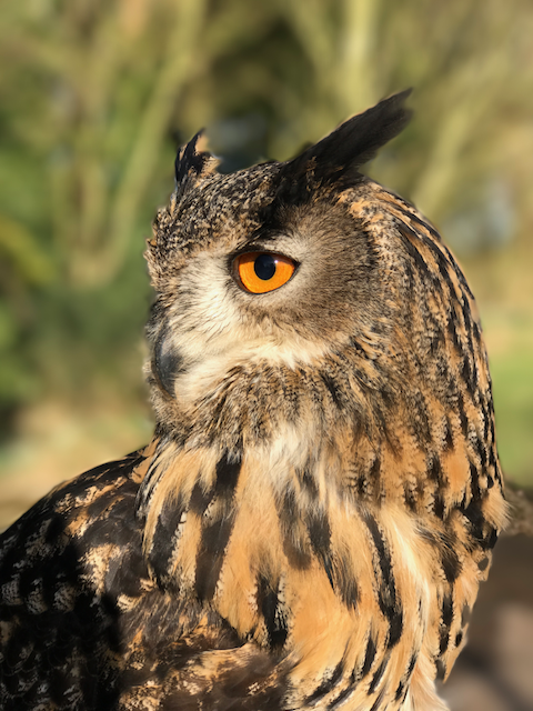 Planke the European Eagle Owl