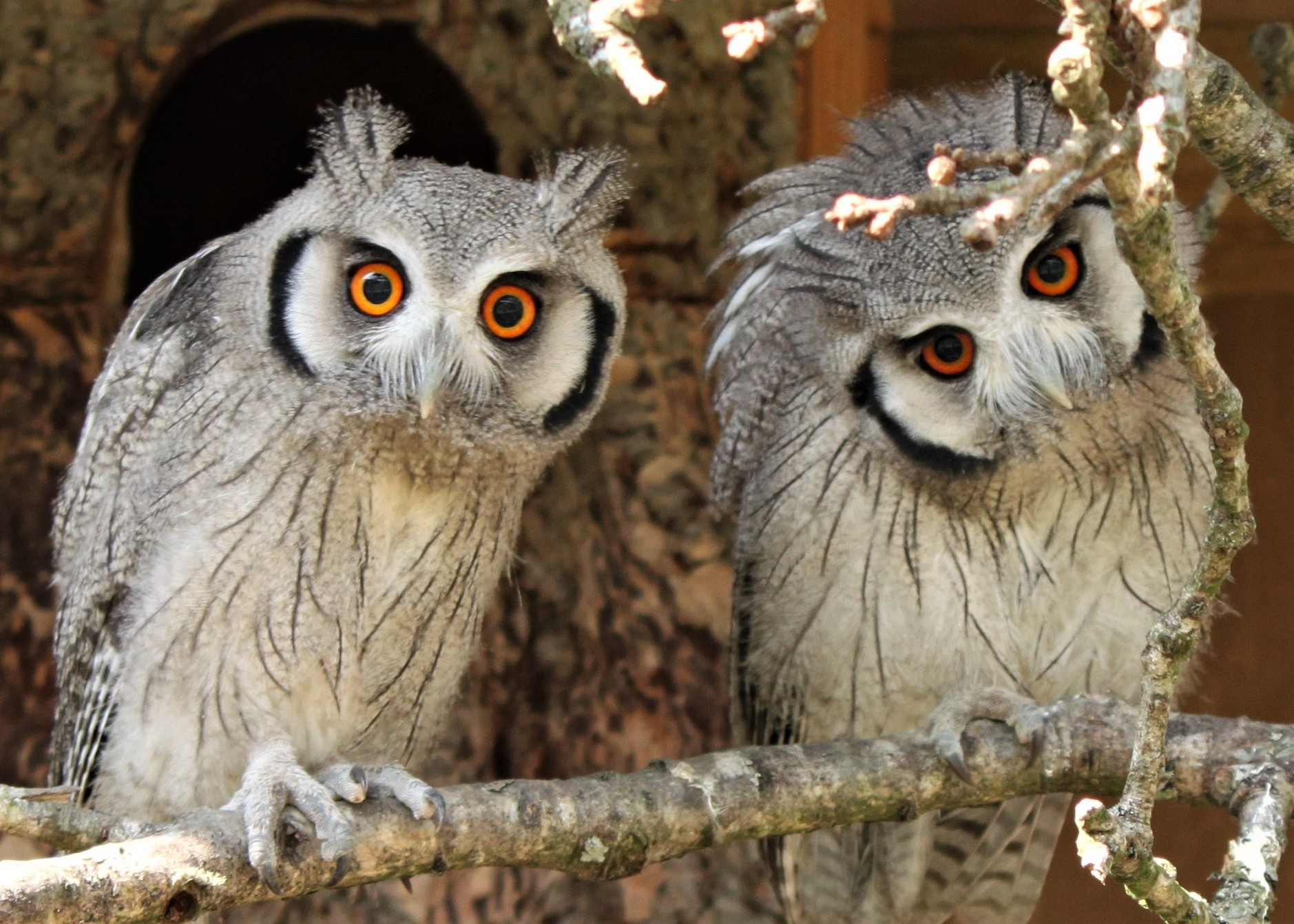 Adopt A Southern White-faced Owl
