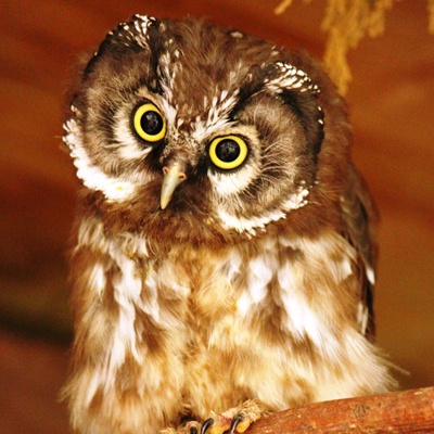 Adopt A Tengmalm's Owl