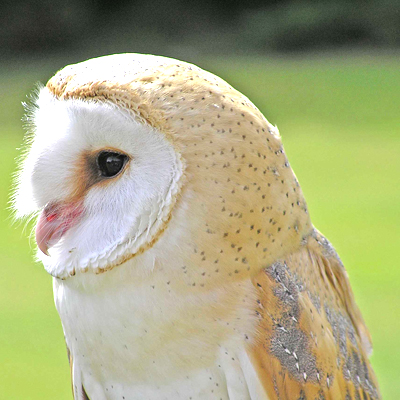 Adopt Tythe the Barn Owl