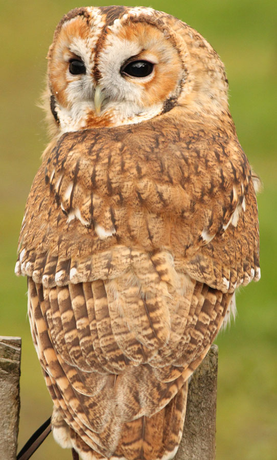 Fudge the Tawny Owl