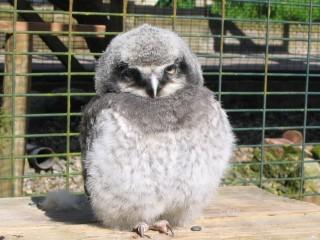 hawk-Owlet