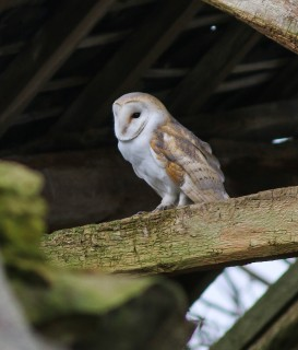 Barn-Owl---SLeece2