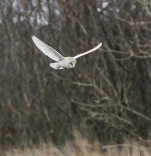 Barn-Owl---SLeece3