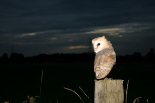 Barn-Owl-123