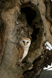 Barn-Owl-202
