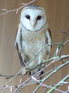 african-barn-owl