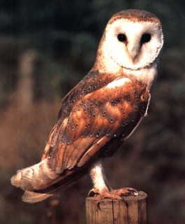 owl-articles-and-conservation-reports
