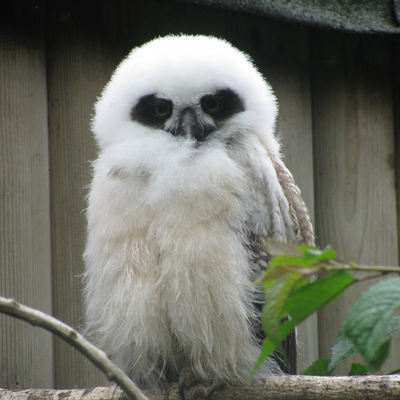 Adopt A Spectacled Owl