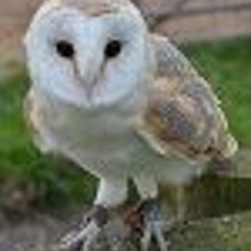Barney Barn Owl